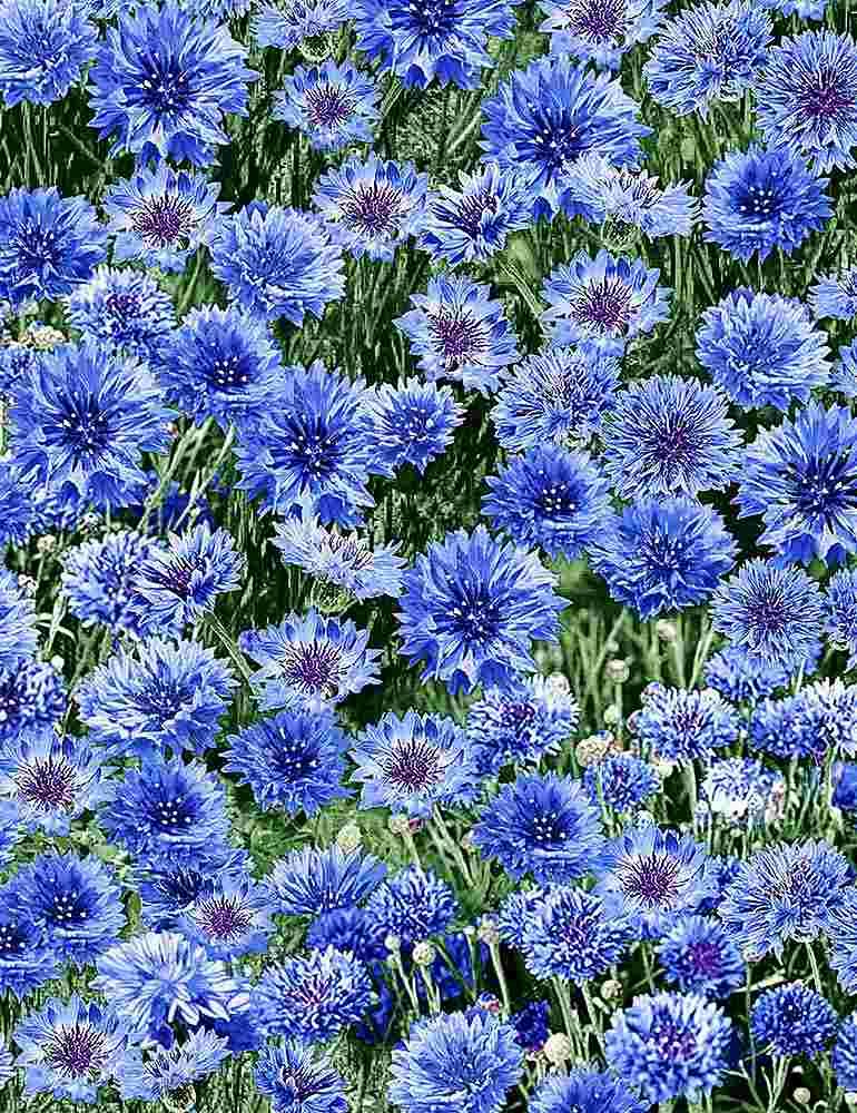 NATURE-C7472/MULTI / BLUECORNFLOWERS